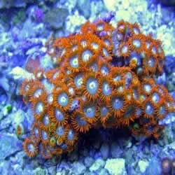 Fire And Ice Zoanthids