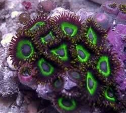 Zoanthids Gumby