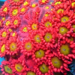 Hot Pink Gonipora